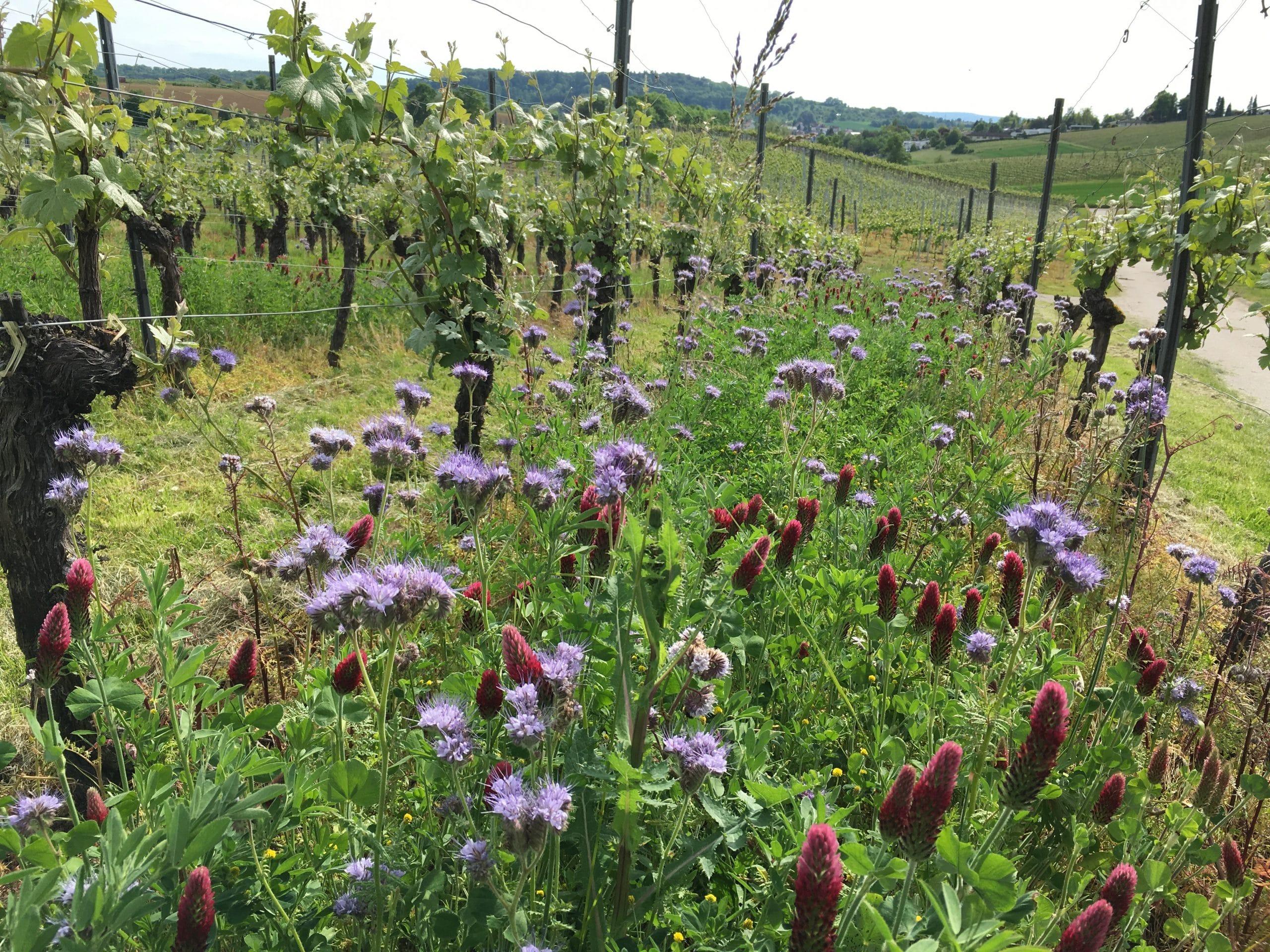 Blumenmeer im Weinberg | Weingut Schwarz, Heilbronn