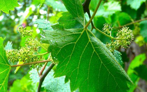 Traubenblüte | Weingut Schwarz, Heilbronn